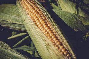 Kukuřice má široké spektrum využití