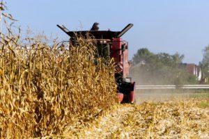 Při sklizni cena komodity klesá