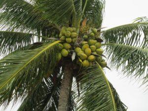 Pěstování kakao - kakaovník